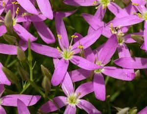 Centaury - Centaurée, Fleurs de Bach