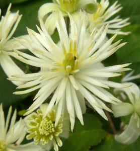 Clematis - Clématite, Fleurs de Bach